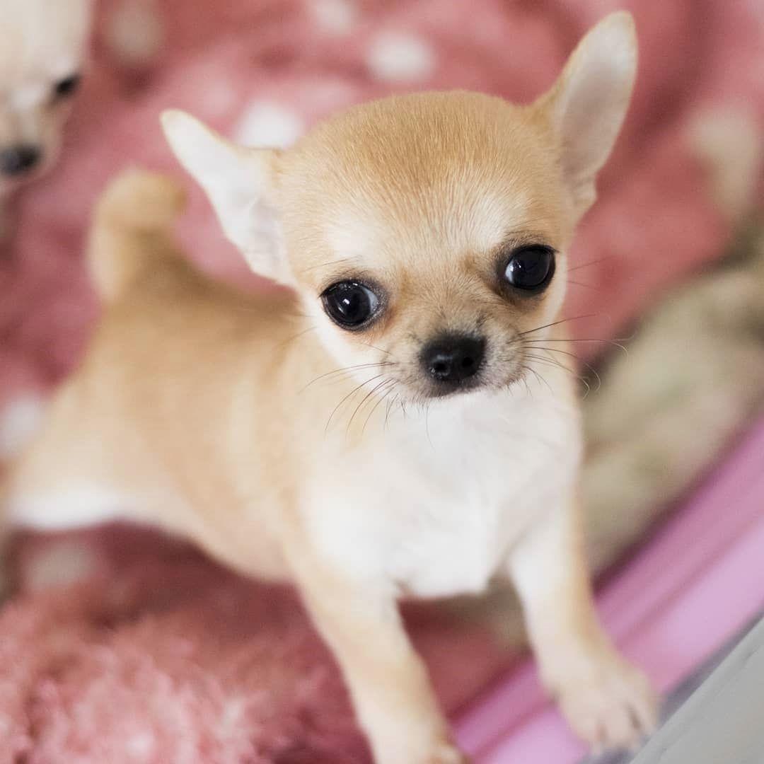 Olha So Esse E O Pequeno Draco Filhote De Chihuahua Pelo Curto