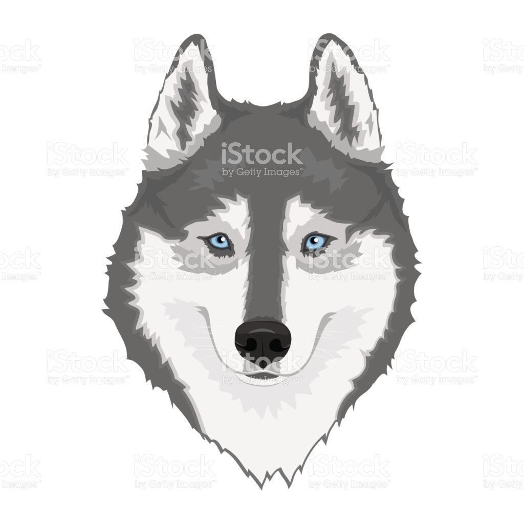 Gray And White Siberian Husky With Blue Eyes Hand Drawn Portrait Of