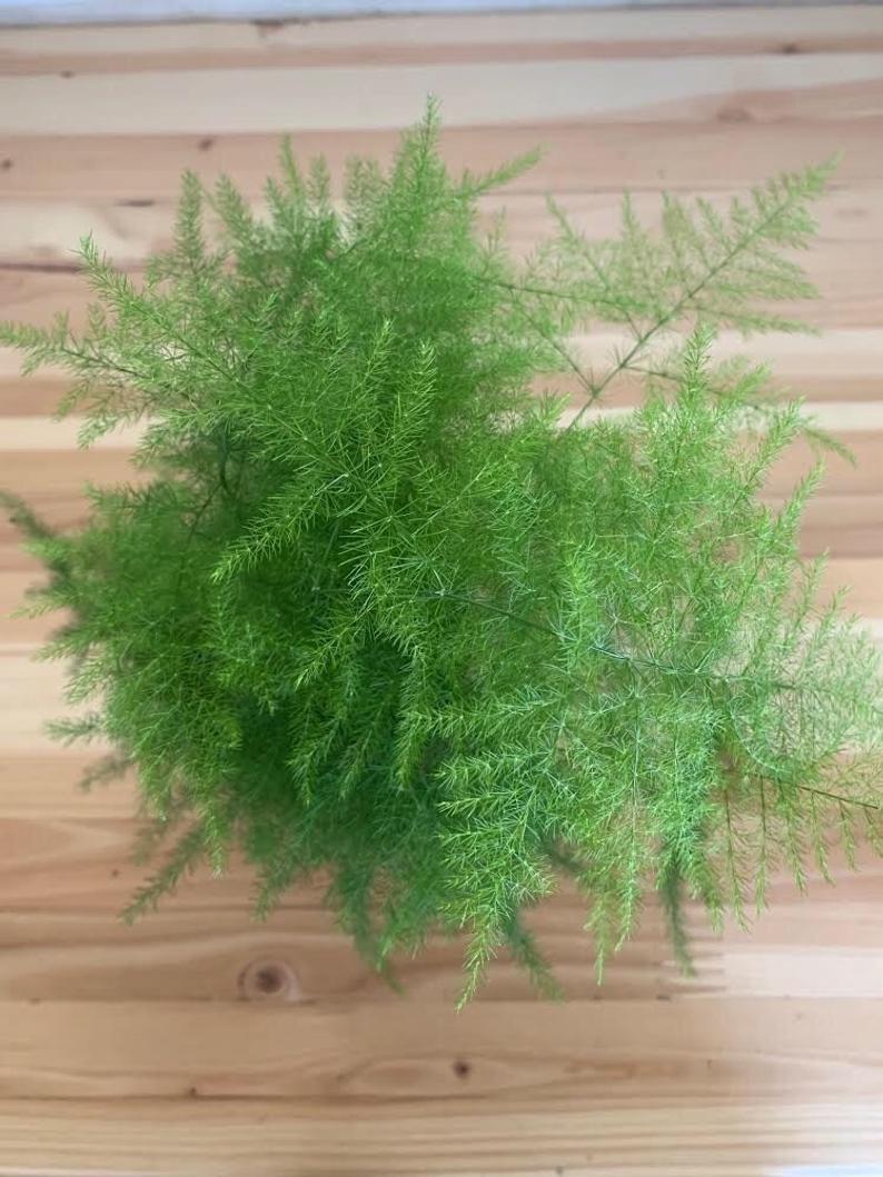 4 Asparagus Fern Plumosa Fern Asparagus Plumosus Etsy Asparagus Fern Growing Plants Red Plants