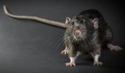 Rat Domestique Une Morsure Peut Etre Catastrophique