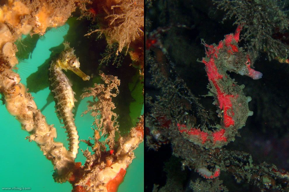 Master of disguise via camouflage to blend into its environment. Left: White's Seahorse anchored to sponge-encrusted netting. Balmoral Baths, Mosman, NSW. Right: Dhiho's seahorse. Photo #45 by Richard Ling & #46 by Nemo's great uncle