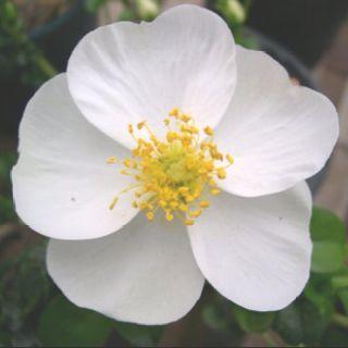 Cherokee rose walking dead pinterest cherokee rose for Cherokee rose