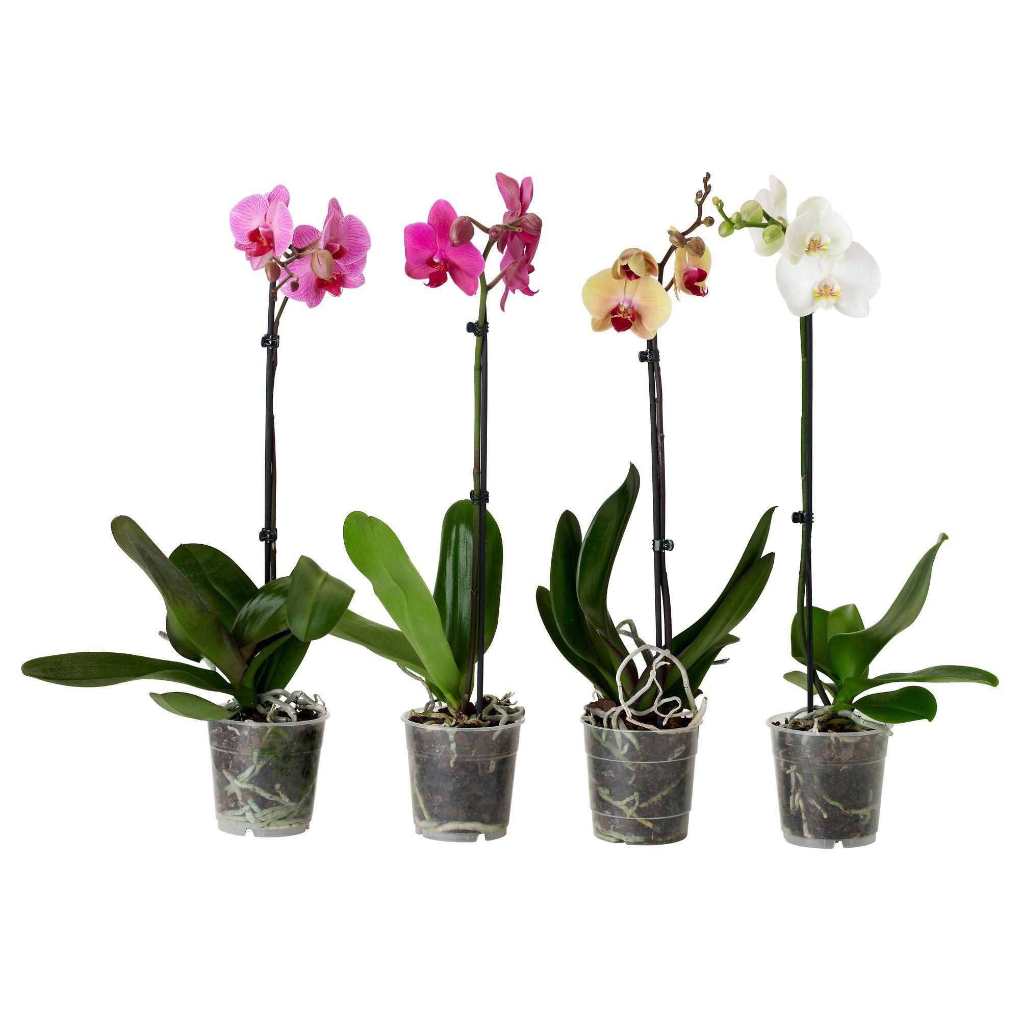 Phalaenopsis potted plant ikea home office pinterest for Ikea plantes
