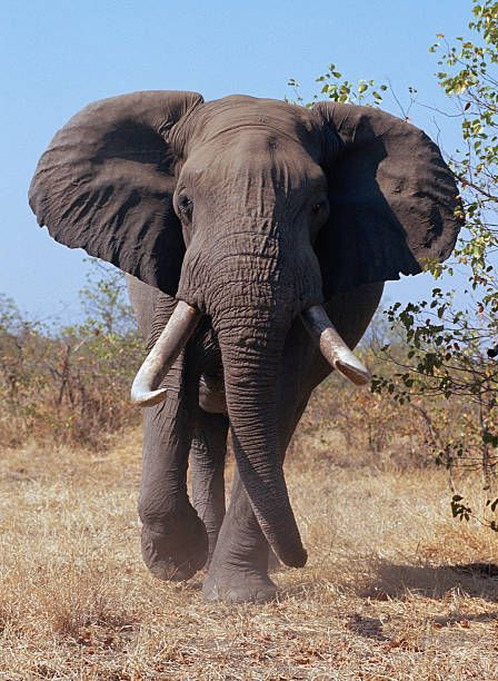 Image result for images of charging elephant