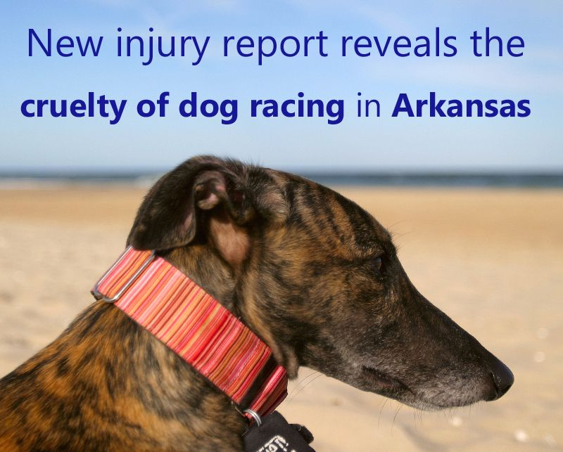 New injury report reveals the cruelty of dog racing in Arkansas  http://grey2kusa.org/eNEWS/G2K-061912.html