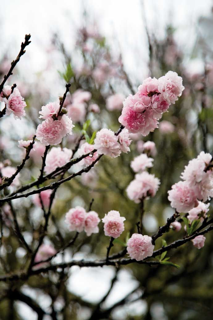 Cherry Blossoms House And Leisure Cherry Blossom Blossom Beautiful Flowers