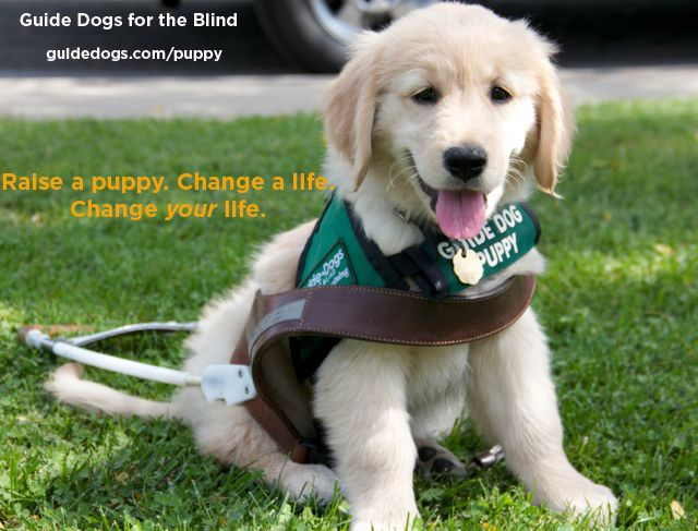 Become A Volunteer Puppy Raiser For Guide Dogs For The Blind Www