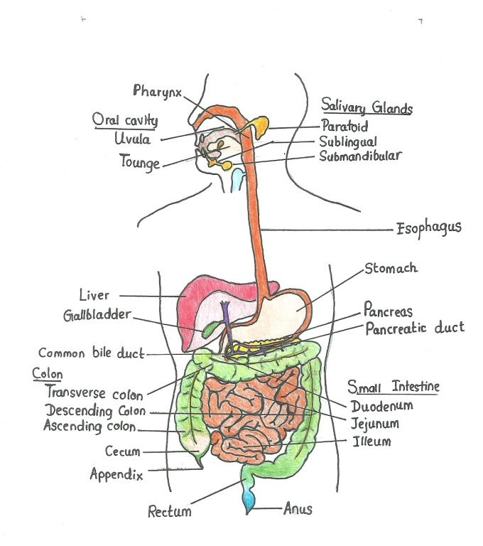 Roshwijey I Will Draw Your Anatomy Drawings For 5 On Fiverr Com Digestive System Human Digestive System Digestive System Diagram