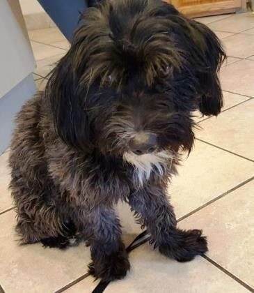 Pictures Of Padfoot A Lhasa Apso For Adoption In Scottsdale Az