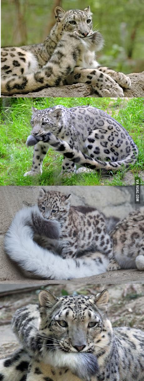 OMG...This is why Beautiful Snow Leopards are the best big cats~