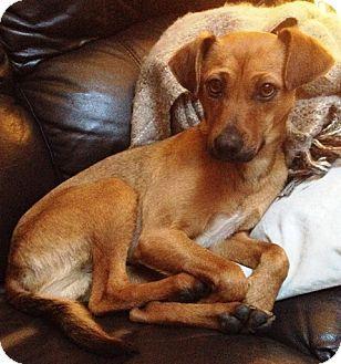 Surrey Bc German Pinscher Mix Meet Rex A Dog For Adoption
