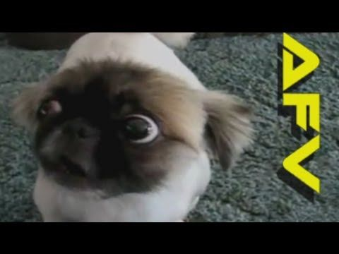 Funny Cats Dogs America S Funniest Home Videos Afv Clips