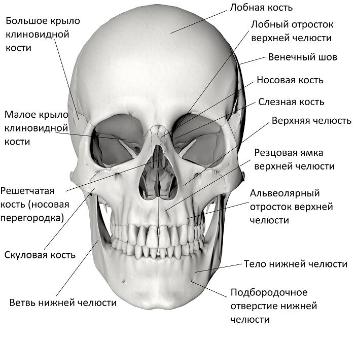 строение человеческого черепа с картинками нее получил абрамов
