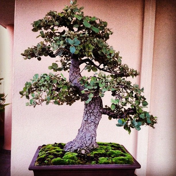 Bonsai (Ilex?) Photo By Instagram User Yoelcuesta