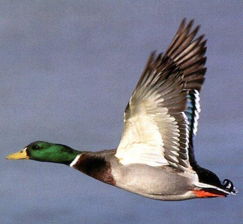 Nesting Wild Mallards In My Backyard Pool: Mallard In-flight Related Keywords & Suggestions