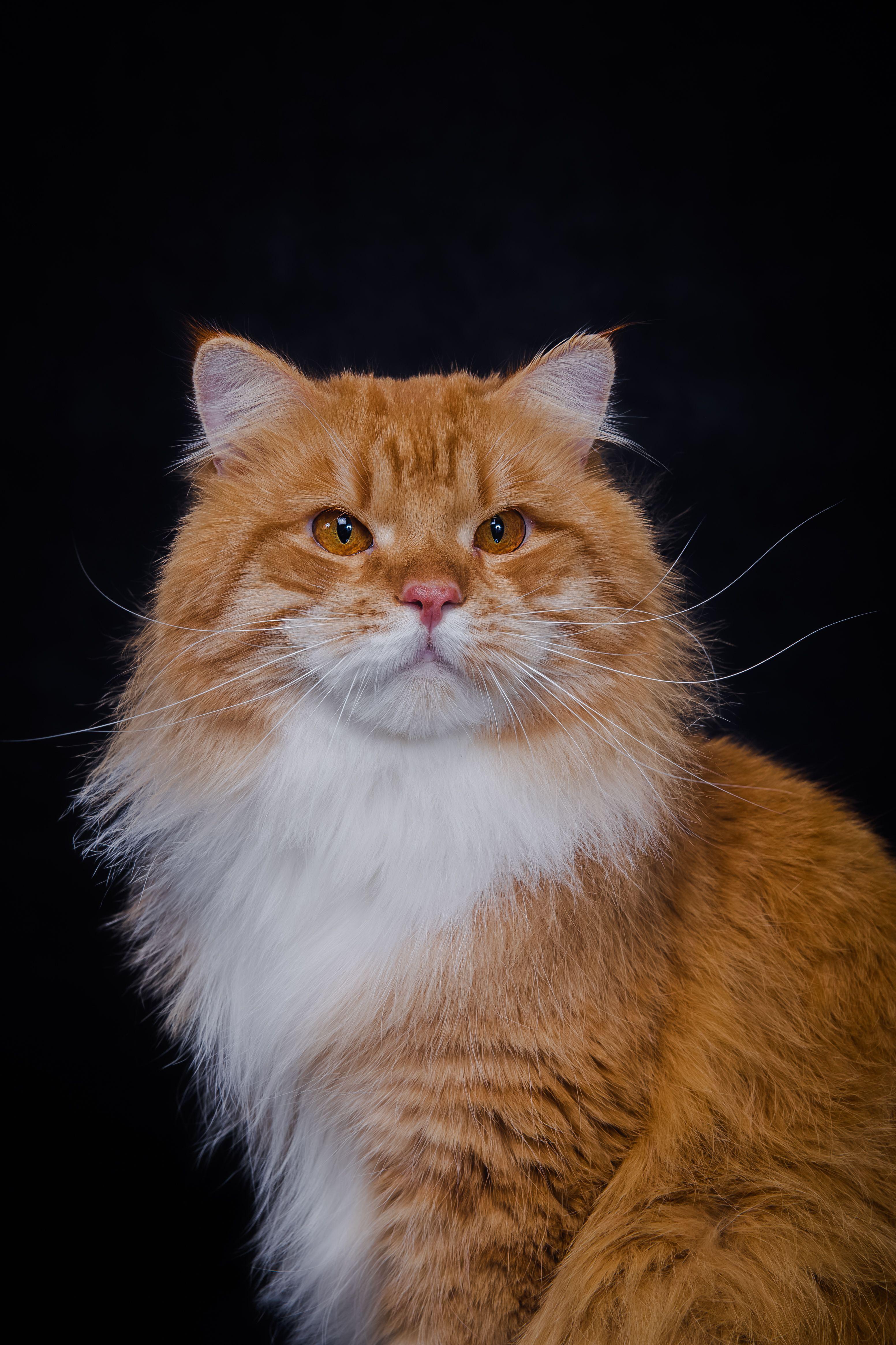 Veeti On Maailman Kaunein Kissa Kun Kissan Kerran Nakee Sita Ei Unohda Koskaan Siperiankissa Kissa Ja Pennut