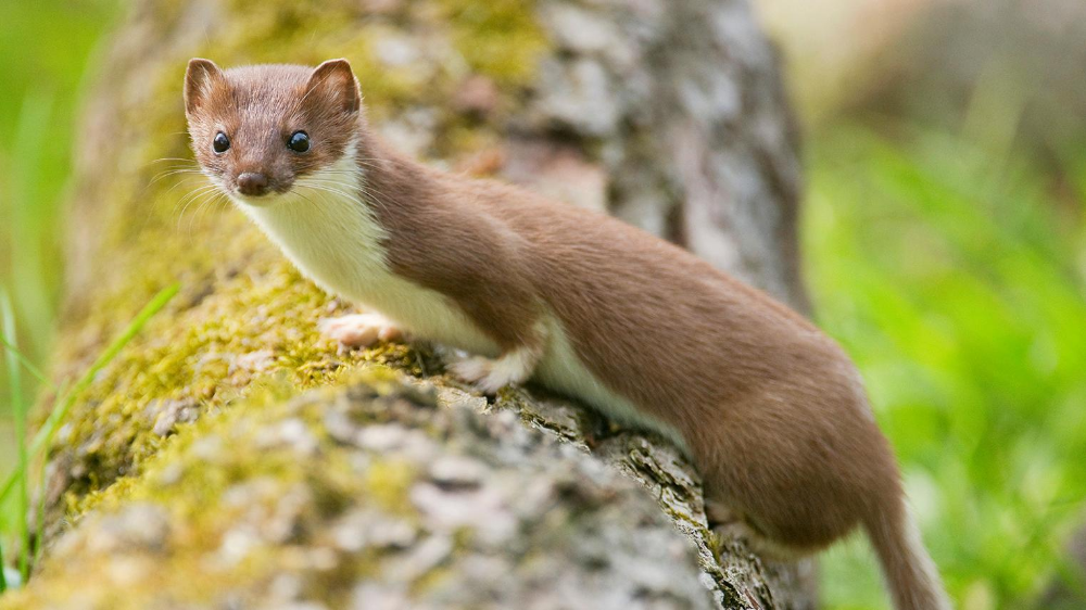 Help We Have A Stoat In Our Attic Martin Bird Attic The Sunday Times