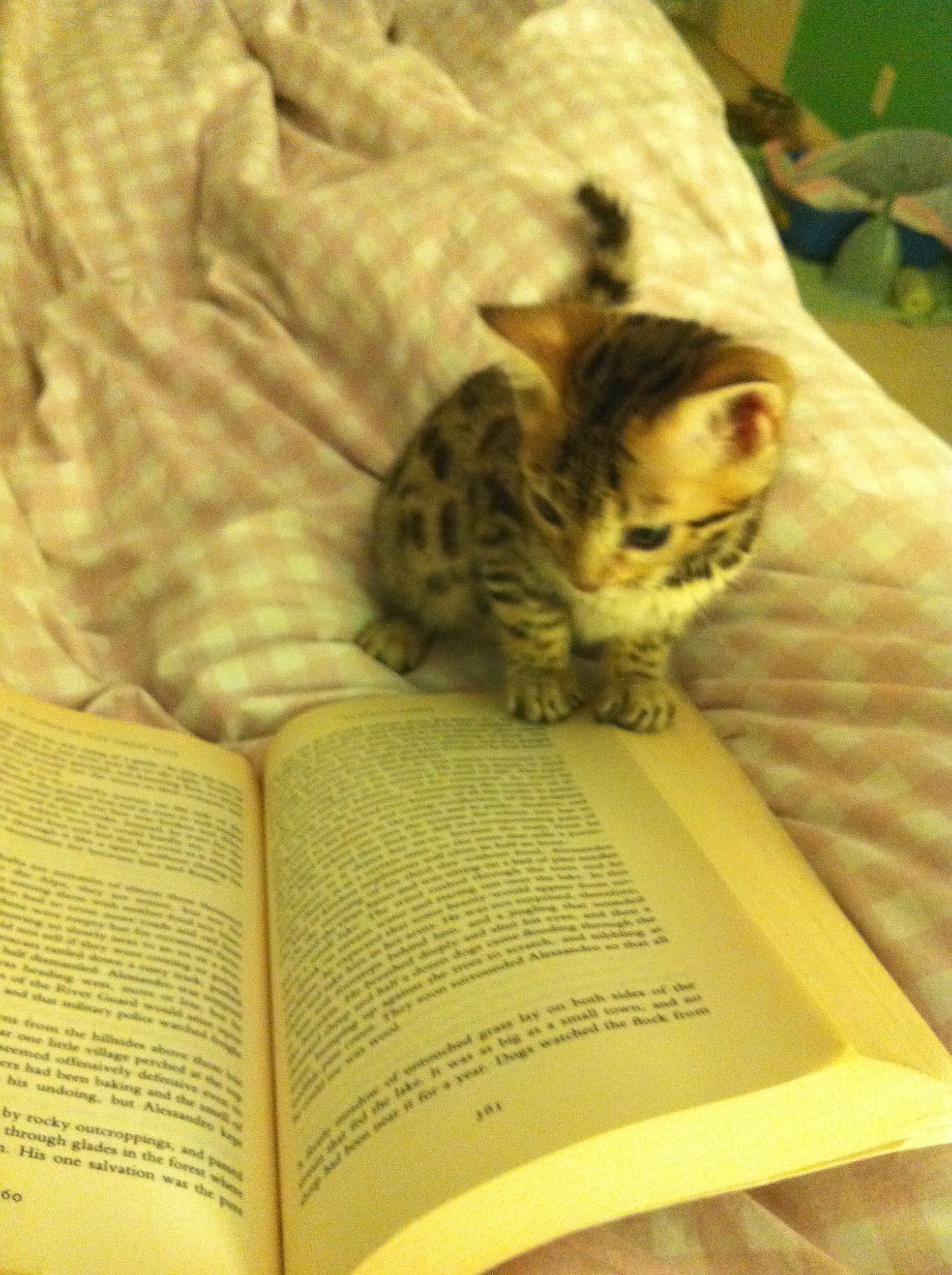 Bengal Kitty Reading My Book Cat Exercise Cat Books Crazy Cats