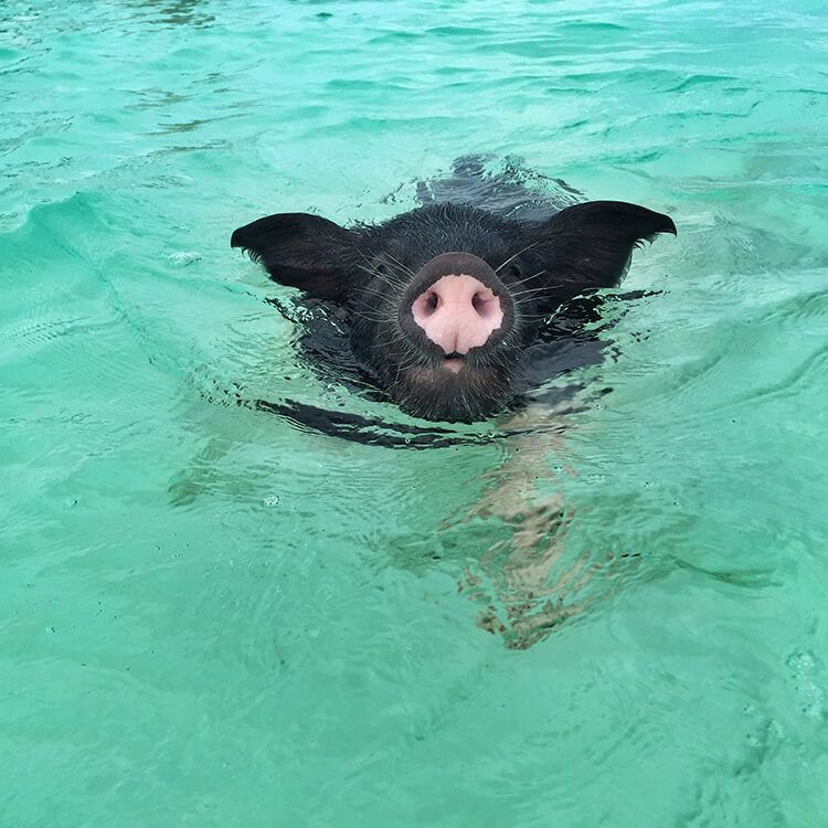 Swimming With The Pigs In The Bahamas