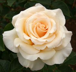 Isn't She Lovely - hybrid tea - move/replace?