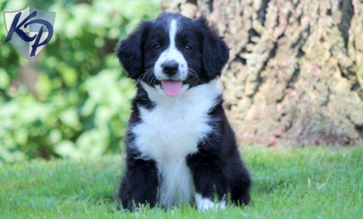 Bordoodle Puppies For Sale | Bordoodle - Border Collie