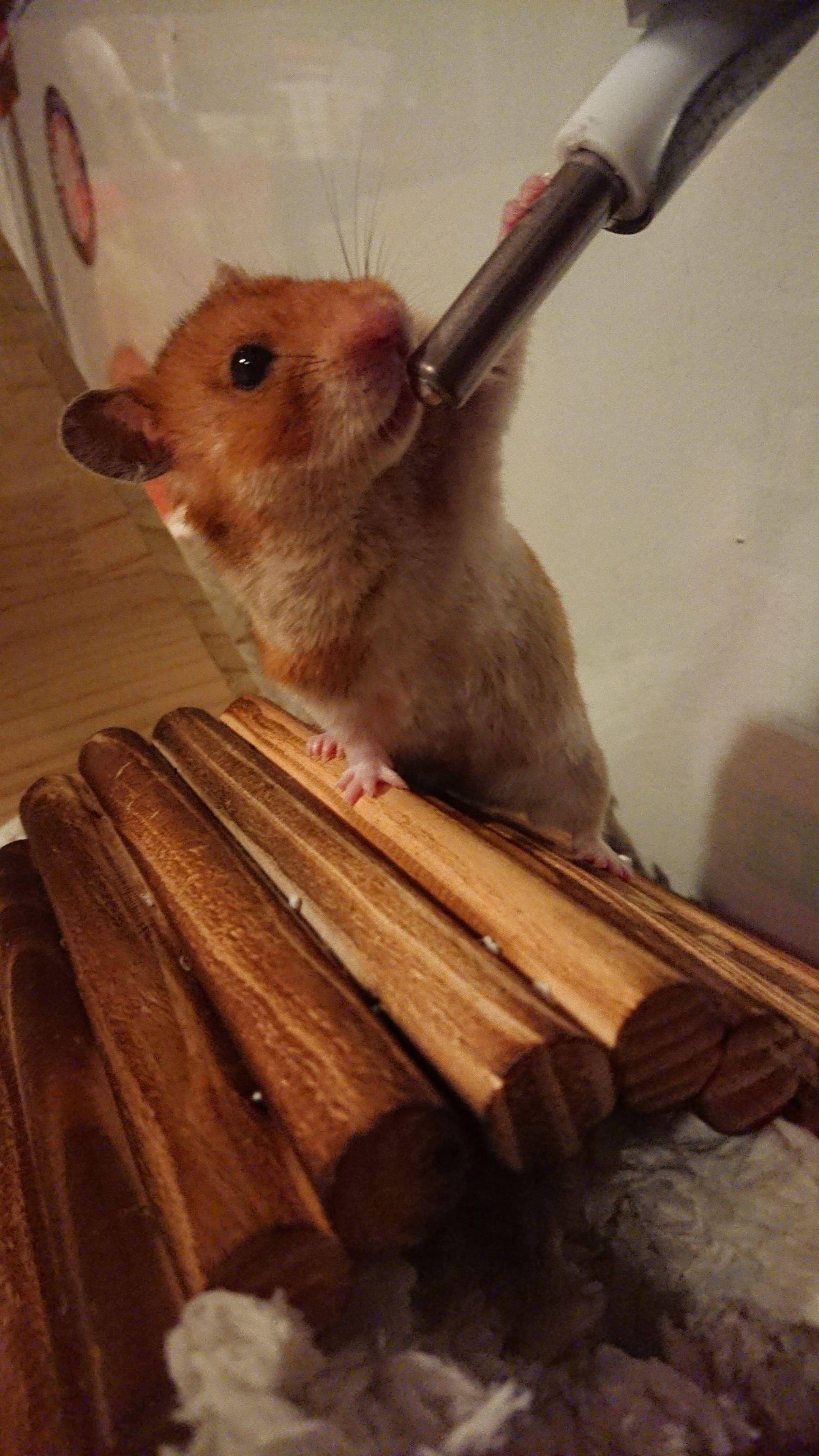 My Little Baby Twibbles Http Ift Tt 2u3meqs Hamster Cute