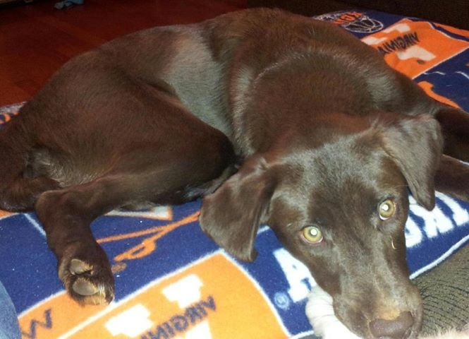 10 Month Old Chocolate Lab And Border Collie Mix She Needs A New Home Click The Pic To Find Out More And Please Shar Finding A House 10 Month Olds Animals