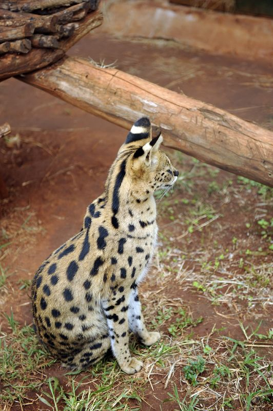 O Savannah I Cannot Wait To Get You This Is A Serval