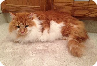Pin On Maine Coon Cats Norweigion Forest Cats