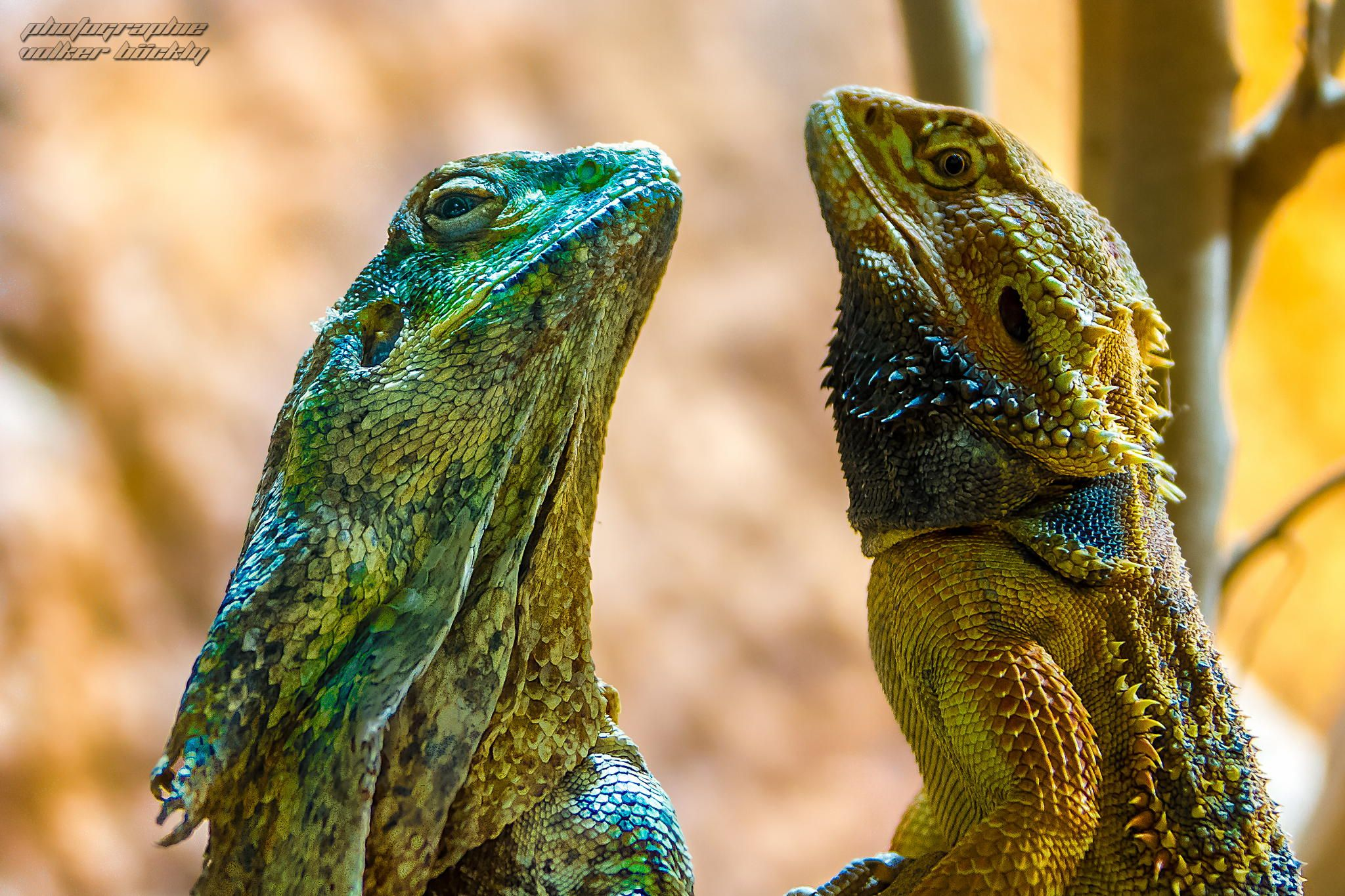 """Let´s Dance - Körperspannung "" Kragenechse & Bartagame  / Collar Lizard & Bearded Dragon by Volker Böckly on 500px"
