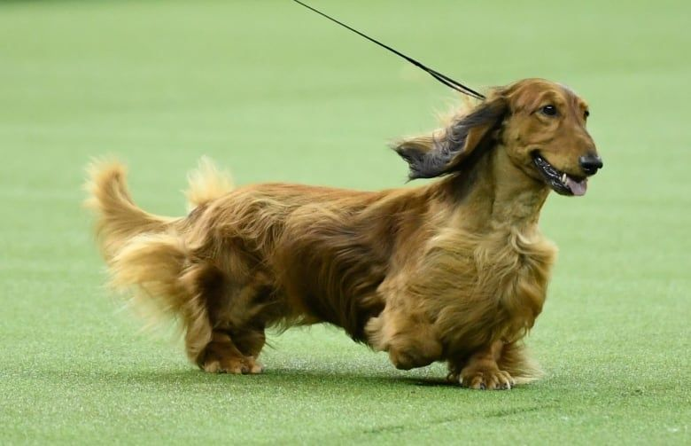 Long Haired Dachshund Called Burns Wins At Westminster Cbc News