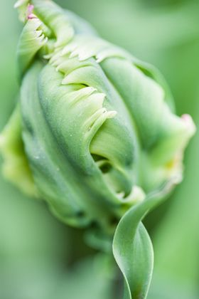 Sweet Crockie 2. Green Parrot Tulip. Keukenhof Garden. Amsterdam - stock photo