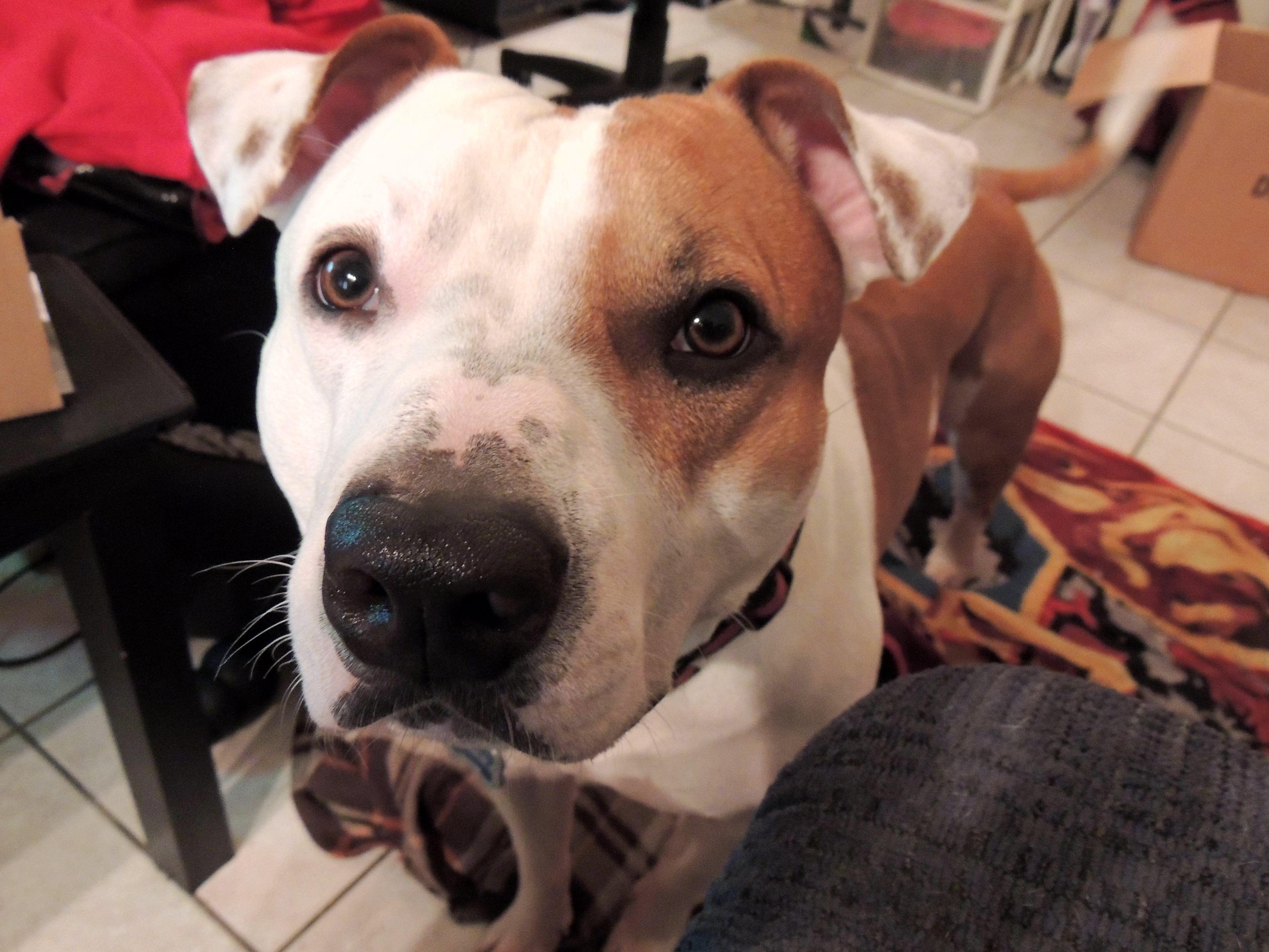 My Beautiful Brucie Dogs Animals Pitbulls