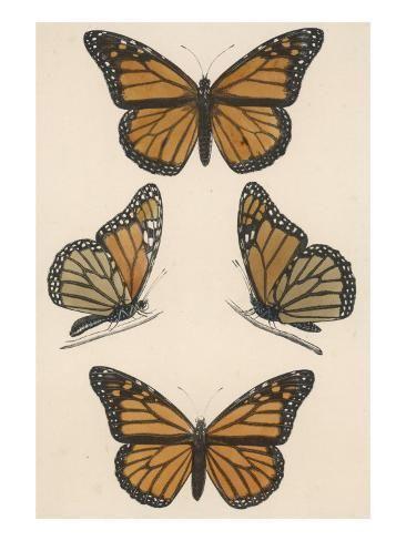 'Monarch Butterfly (Danais Archippus)' Giclee Print - | Art.com