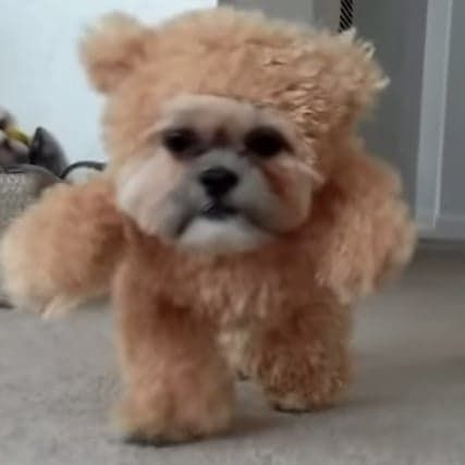 Dog Dressed As A Teddy Bear On A Treadmill Is The Best Thing You