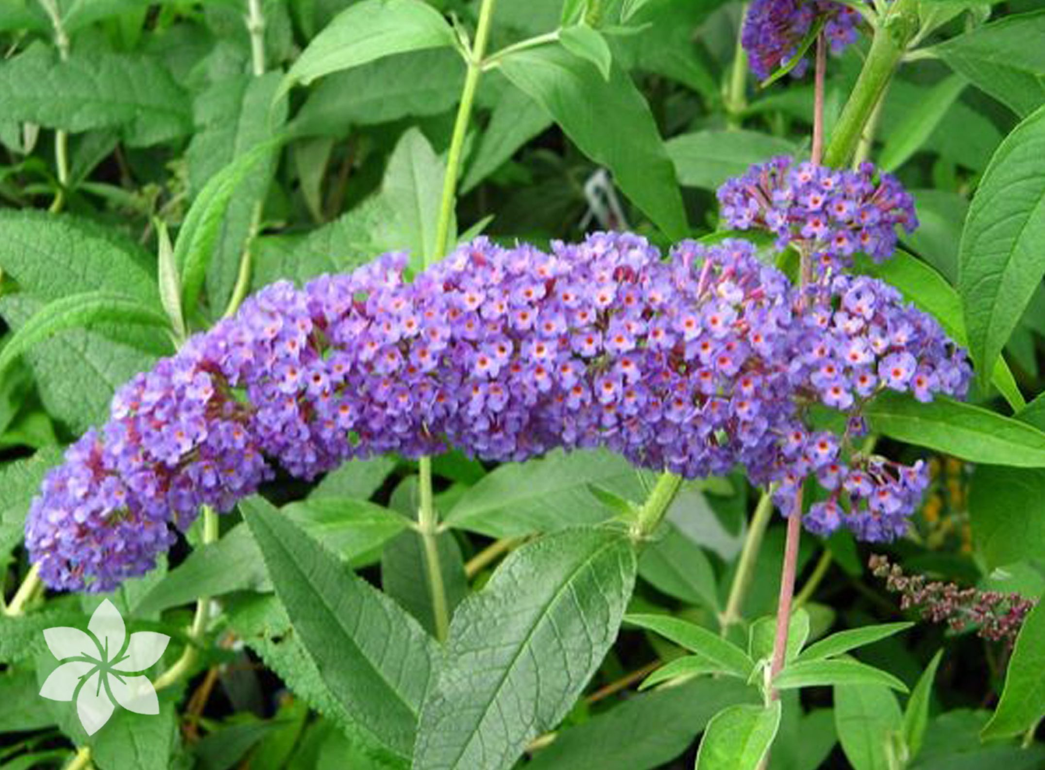Budddleja البادليا Butterfly Bush Planting Flowers Garden Center