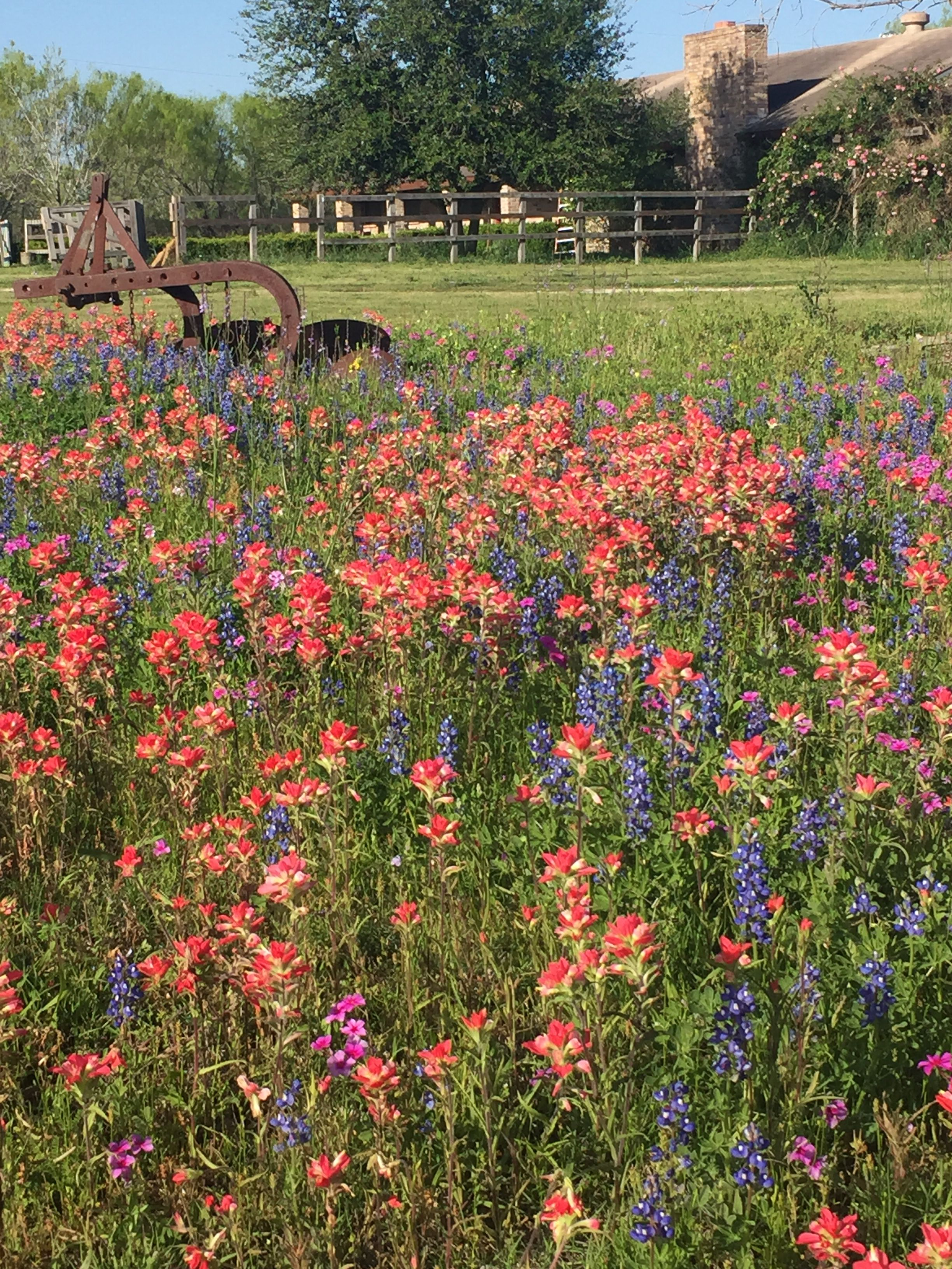 In Garlon Texas Spring Flowers Pinterest Spring Flowers