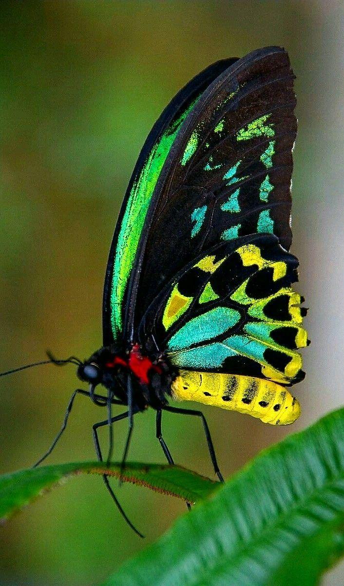 Natur - Der wunderschöne Goliath Birdwing Schmetterling. - durch Khrome Fotografie,  #Birdwing #der #durch #Fotografie #Goliath #Khrome #Natur #Schmetterling #Wunderschöne