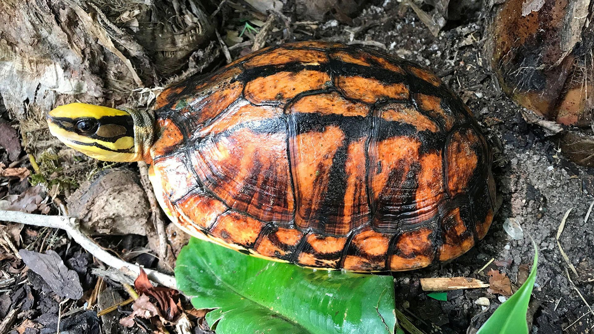 The Turtle Extinction Crisis Nearly Half Of All Freshwater