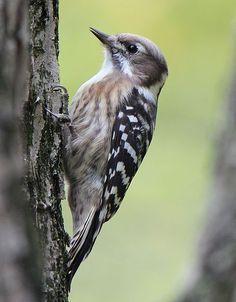 Woodpecker  Habitats, Malaysia and Argentina