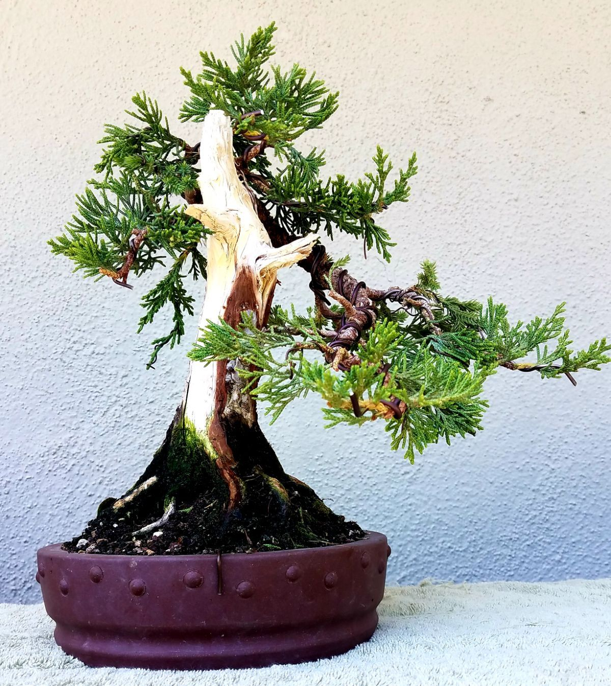 Groovy Picture 7 I Did Some Minor Pruning And Wiring On My Shohin Wiring 101 Ouplipimpapsstreekradiomeanderfmnl