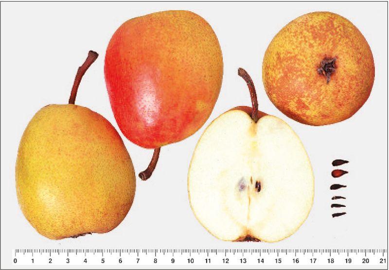 Minister Dr. Lucius, Koch- und Doerrbirne, zum Brennen geeignet, Ernte: IIX-IX, lagerfaehig bis X, robust, halbschmelzend, saftig, aromatisch. Sehr grosser Baum fuer geschuetzte Lagen. Jaehrlich + sehr fruchtbar