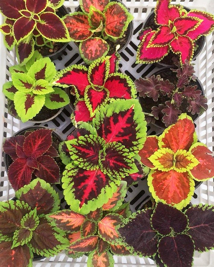 Quiet Corner Container Gardening Ideas: Growing Coleus As A Houseplant