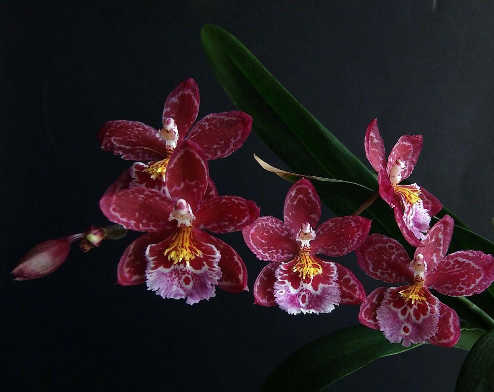 Vuylstekeara cambria orquideas pinterest orchid and plants