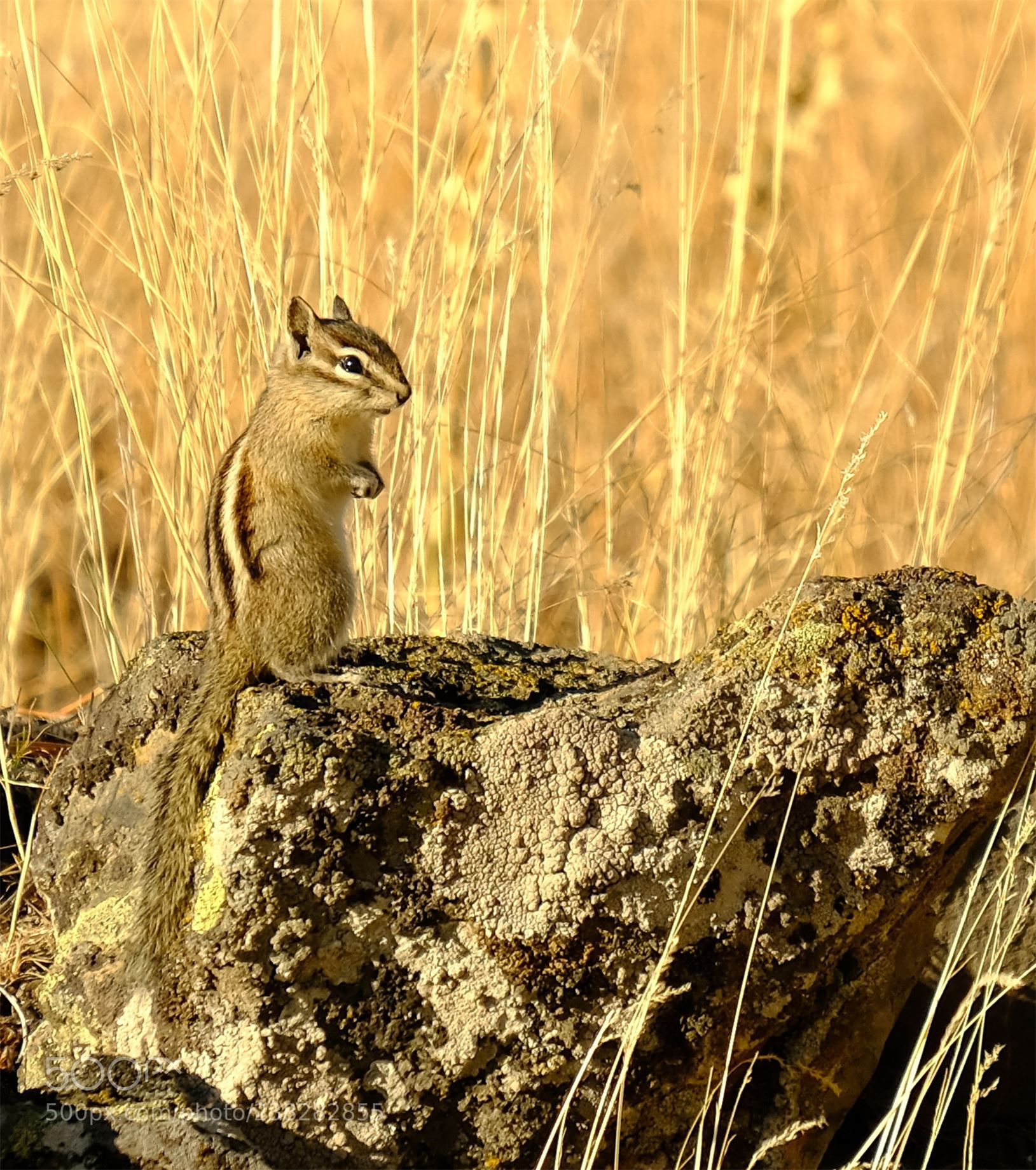 Yellow-Pine Chipmunk (Eutamias Amoenus) (George Coutts ...