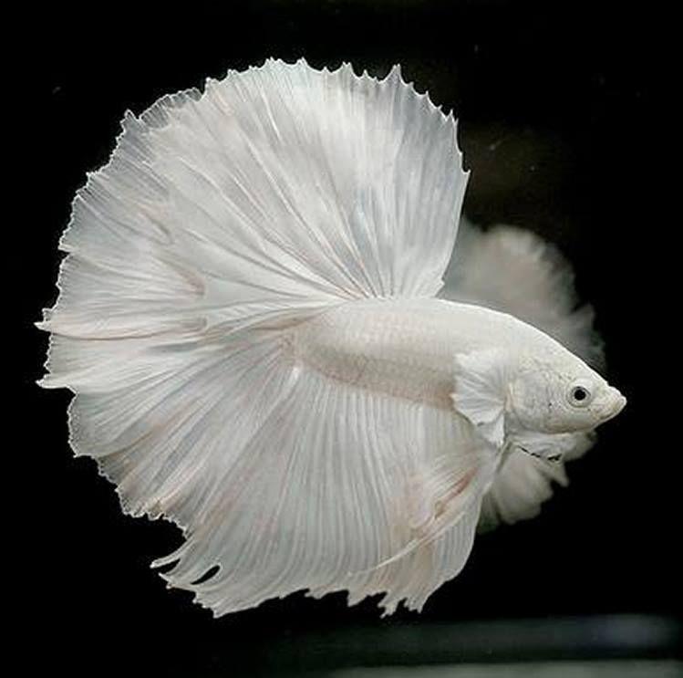 Beautiful White Halfmoon Betta Fish Betta Fish