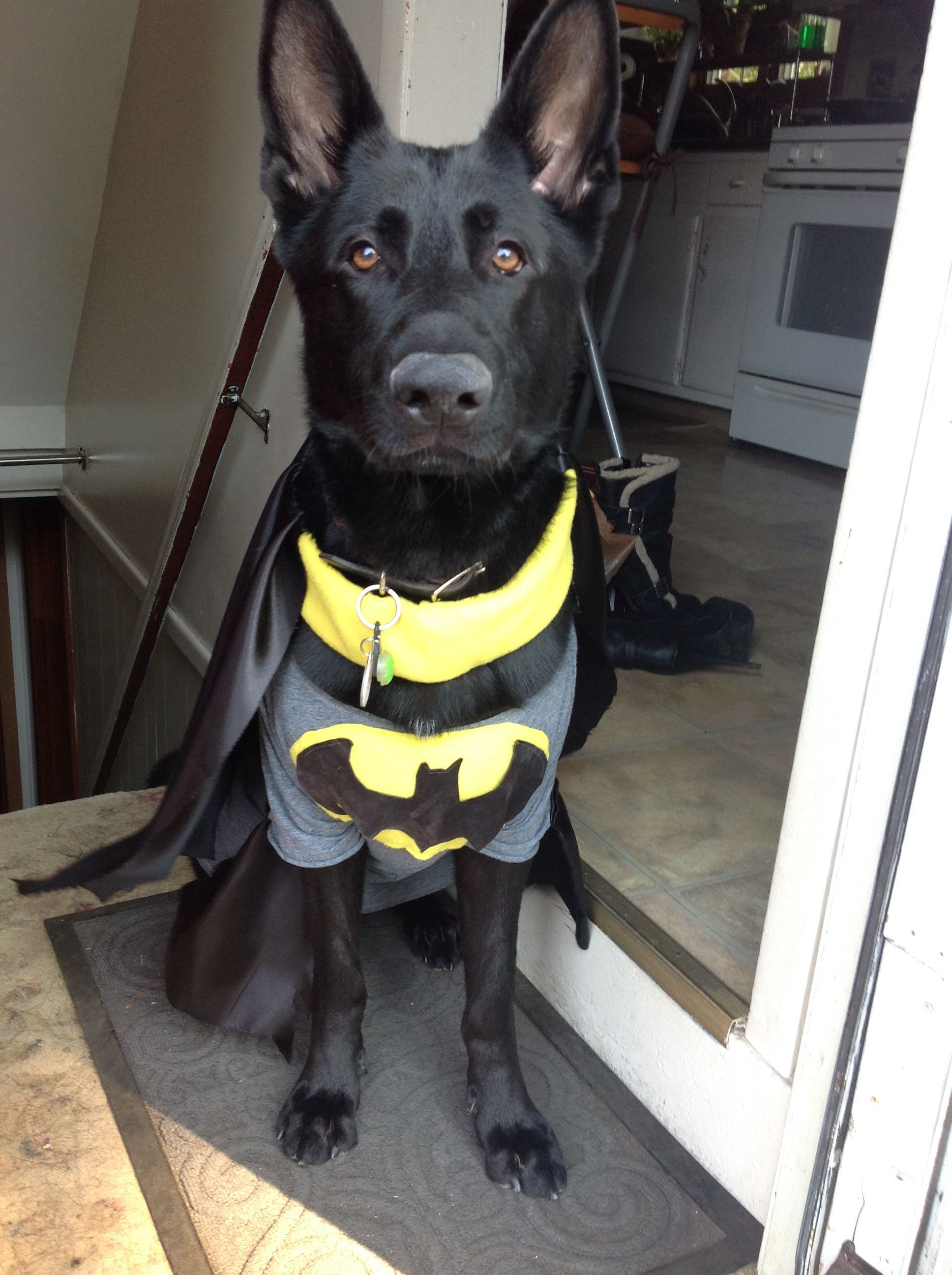 My 2 Yr Old Black Gsds Gunny As Bat Dog He S A Rescue From