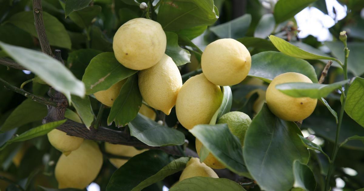 Beim Überwintern von Zitruspflanzen (Citrus) gibt es häufig Probleme. Gerade wenn die Pflanzen kühl und sehr hell überwintert werden, lassen sie schnell ihre Blätter fallen. Die meisten Hobbygärtner führen das auf Gießfehler zurück – der Grund ist aber ein ganz anderer.