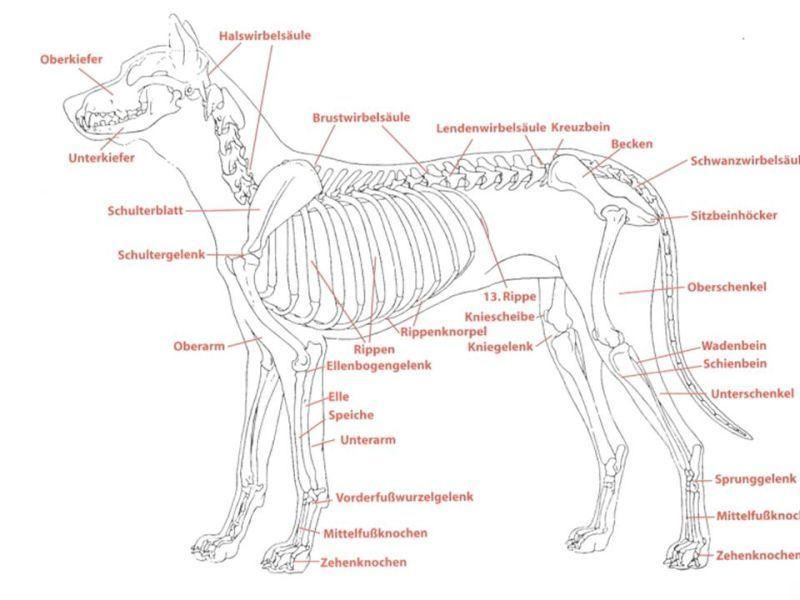 Ziemlich Hund Anatomie Bein Zeitgenössisch - Menschliche Anatomie ...