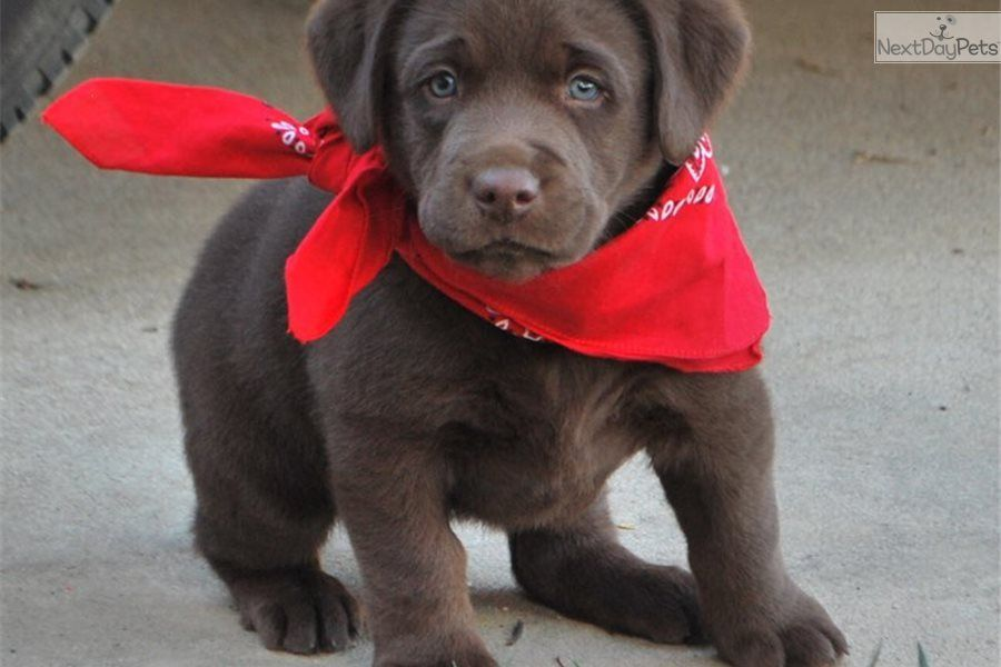 Hershey Labrador Retriever Puppy For Sale Near Orange County